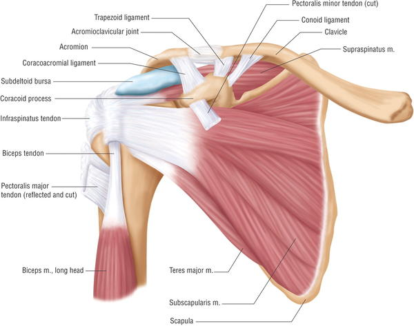 What can pain in the shoulder blade indicate?