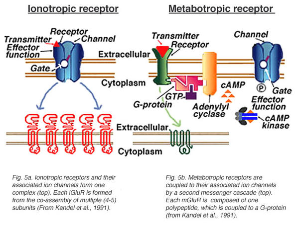 Can autoantibodies against glutamate receptors cause glutamate metabolism disorders?