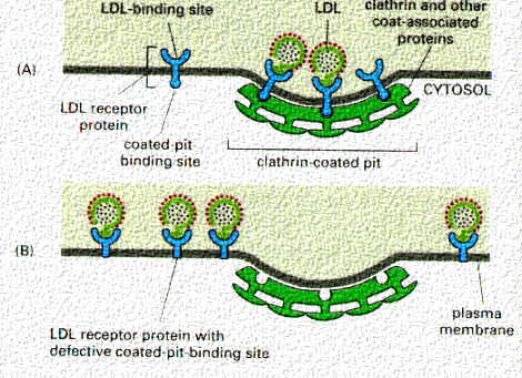 What effect does the LDL receptor have in cholesterol diseases?