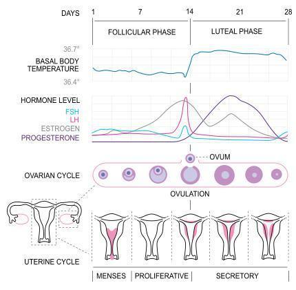 What are some natural ways to correct and regulate the menstrual cycle?