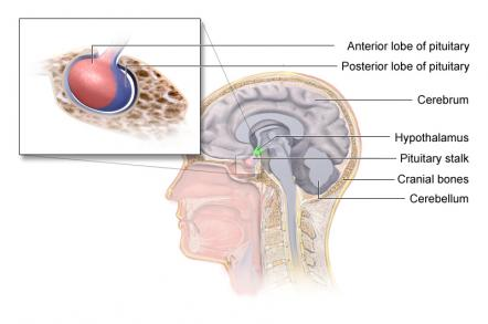 Can doctors tell me what does the pituitary gland control and where is it?