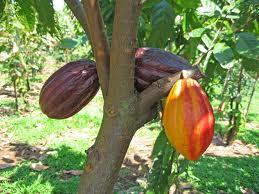 Is raw cacao toxic? Or really a super food?
