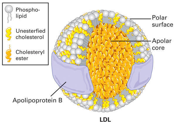 What LDL cholesterol level is consider risk factor?