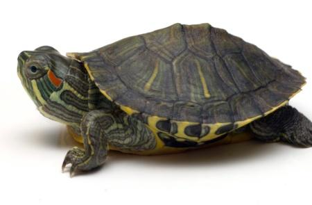 How can a turtle's bacteria be bad for someone who has cancer and lyphemdema?