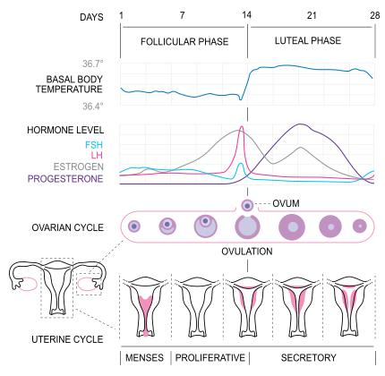 I'm wondering why are the levels of oestrogen and progesterone low in the blood during menstruation?