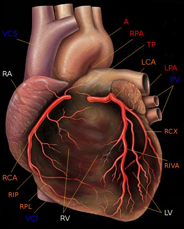 What are coronary arteries?