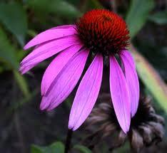 Are the petals of the purple coneflower poisonous and what will the poison do?