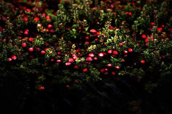 How are cranberry juice and urinary infections linked?