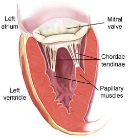 What are the enlarged muscles in ventricles attached to chordae tendinae known as?