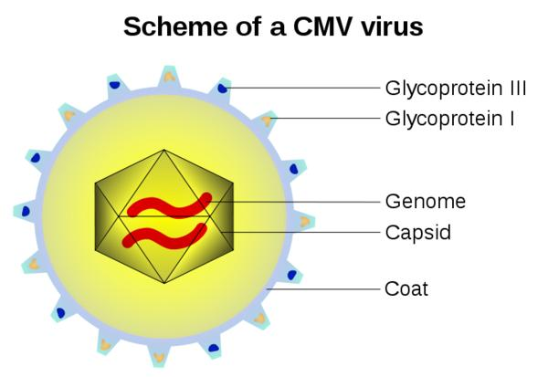 Describe the features of cytomegalovirus.?