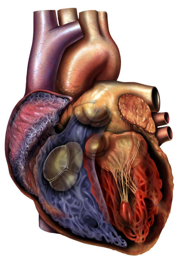 What is the difference between palpitation, tarchycardia and bradicardia?