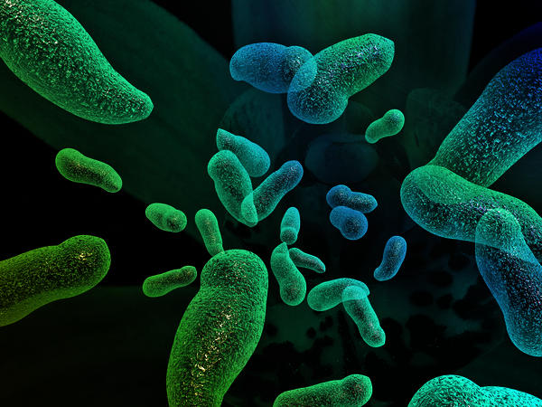 What does lactobacillus in urine mean?