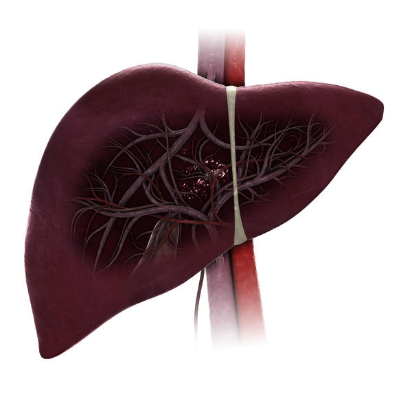How fast do elevated liver enzymes lower?