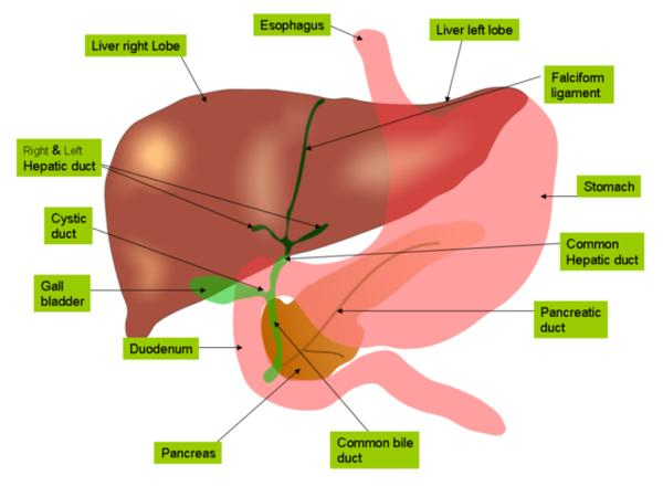 Where will the bile be produced in the case of amputation of gall bladder with stones?
