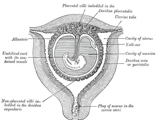 Is your cervix low and open in the early stages of pregnancy?