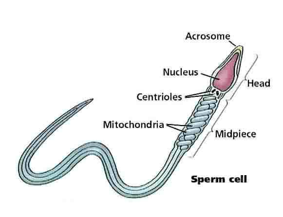 Do daily masturbation reduces the sperm counts?