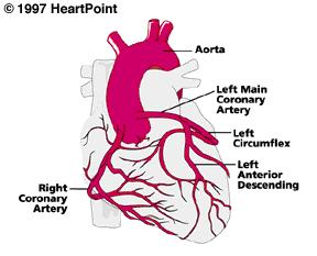 What are the main coronary arteries?