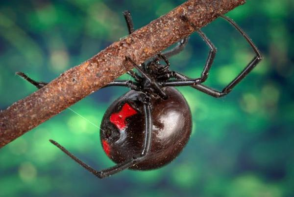 What's the significance of black widow spider bite?