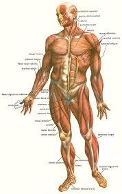 Skeletal muscle are voluntary or involuntary?