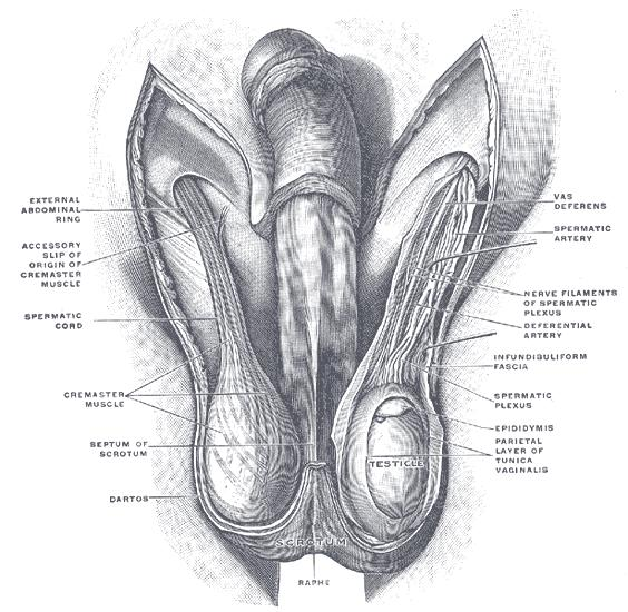 My right testicle looks abnormal by its positioning, it dosent hurt me but i can feel some discomfort i guess in spermatic cords.What could it be ?