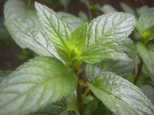 Is peppermint tea good for you?