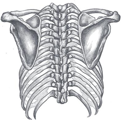 Does nerve damage and similar symptoms to ulnar nerve entrapment go along with spengels disease. I suffer from a raised scapula when flexing pectorali?
