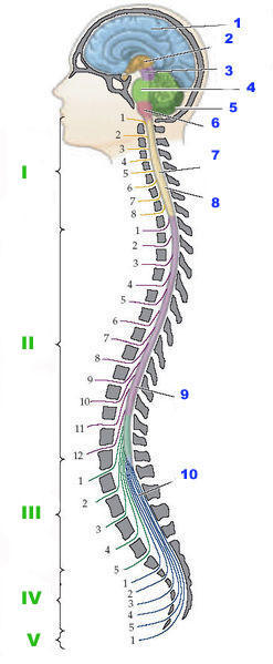 Can you tell me about surgery for cervical stenosis?