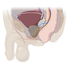 Male_prostate_anatomy_sagital_view_-_low_res_1_