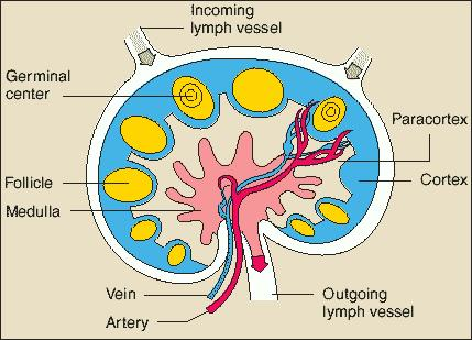Could an oncologist need only inspect one lymph node to see if cancer has spread?