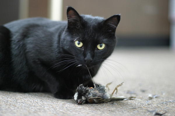 Can inhaling the dust of cat poop cause toxoplasmosis?