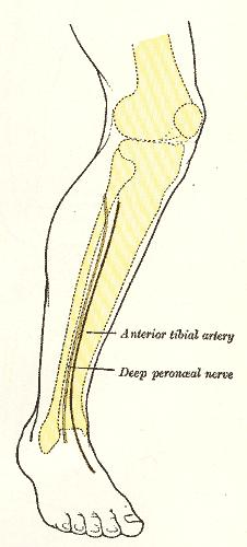 Peroneal nerve--wjere and what is that?
