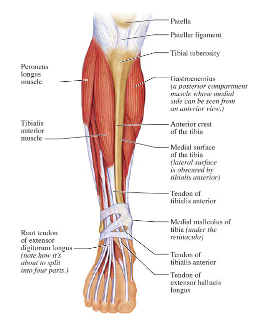 When the post tibial tendon is inflammed does it affect the anterior tibialis tendon, are they interconnected? Where and how r both tendons examined?