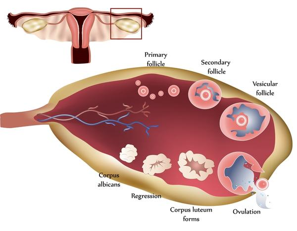 My right ovary shows a dominant follicle of 18 8 14 4mm and E T of