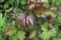 Can I tell me how I can clear up redness and scabbing from poison ivy?