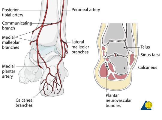 Peroneal tendon sticks out. Also pops when toes are curled and move from ankle. Can feel pulse in the area of ankle. Is there an artery near this site?