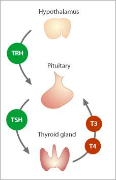 If my TSH &T4 test is normal is that means that i dont have any thyroid disease? in other way TSH &T4 are sufficient to discover any thyroid disorder?