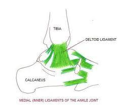 Where are the ligaments in your ankle located?