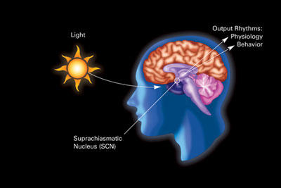 Do neurotransmitters, hormones, or enzymes lead from the visual system to suprachiasmatic nucleus, to control circadian rhythm with and without light?