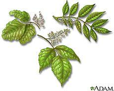 Poison oak and poison ivy the same thing?