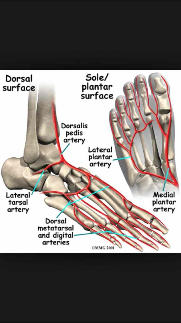 Are the medial/lateral tarsal, dorsal metatarsal, anterial tibial and arcuate, the only arteries on the front of the leg and foot?