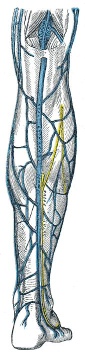 Is there a vein that extends from the lateral ankle to the medial gastrocnemius, posteriorlly?