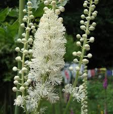 Is it safe to take black cohosh with Clomid (clomiphene) when trying to conceived?
