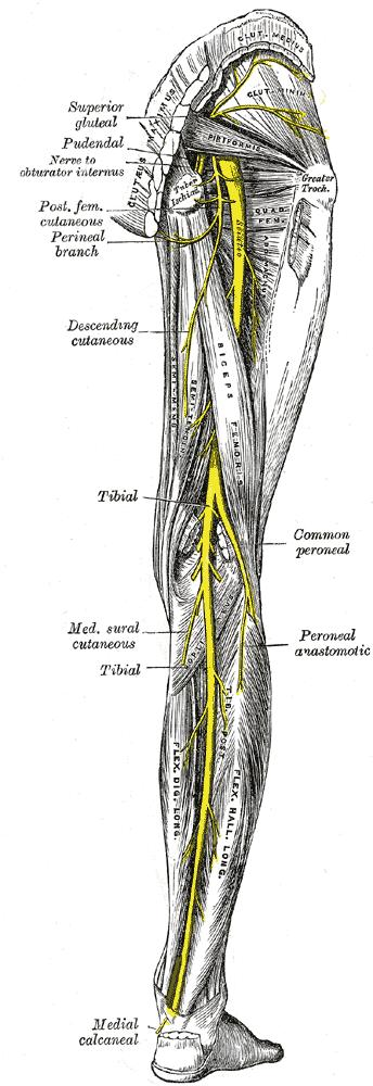 How can you injure your sciatic nerve?