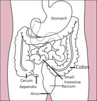What side of our stomach is appendix located?
