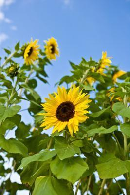 What are safflower and sunflower oil benefits?