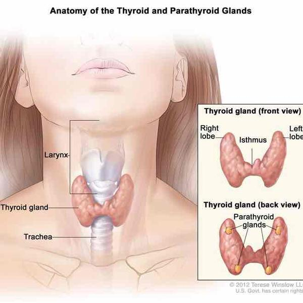 How do the parathyroid glands work?