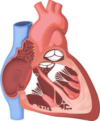 What is the meaning of bradycardia?