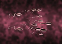 How long does sperm live inside the womb for?