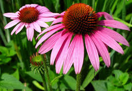 What is the main active ingredient of echinacea purpurea extract?