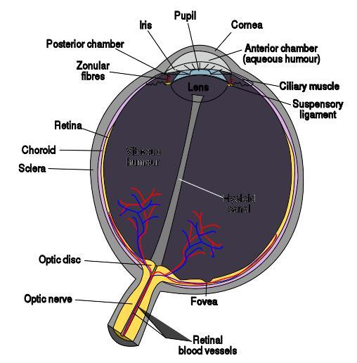 When you get your eyes dilated can doctor see lesions? When eyes are dilated can you see behind optic nerve?